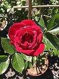 Kletterrosen winterhart mehrjährig Rose Sympathie Kletterrose rot öfterblühend im Topf
