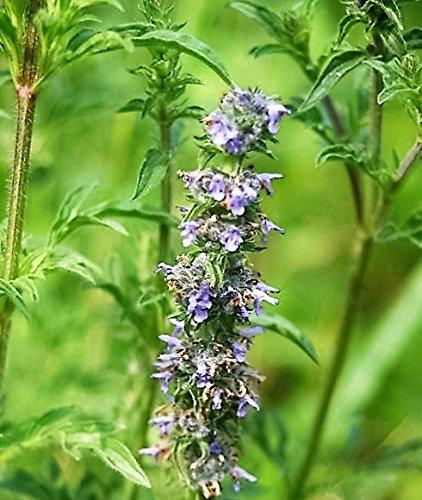 Kräutersamen, japanische Katzenminze, Violett, Jing Jie Schizonepeta Tenuifolia, 250 Samen