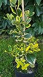 gelbgrüne Hülse, Ilex altaclerensis Golden King 50 - 60 cm hoch im 3 Liter Pflanzcontainer