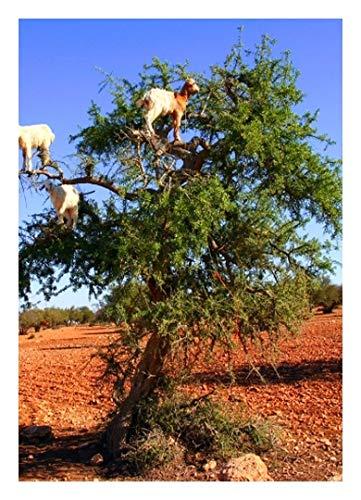 TROPICA - Arganbaum (Argania spinosa) - 2 Samen