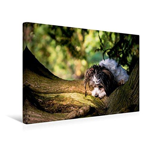 Premium Textil-Leinwand 45 cm x 30 cm quer, Havaneser | Wandbild, Bild auf Keilrahmen, Fertigbild auf echter Leinwand, Leinwanddruck: ...auf Spurensuche (CALVENDO Tiere) (Havaneser Hund Spielzeug)