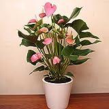 Anthurium Pink Champion - 1 plante