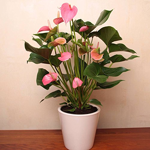 anthurium-pink-champion-1-plante