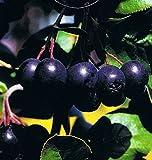 Schwarze Kulturapfelbeere - Aronia melanocarpa