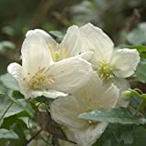 Clematis cirrhosa Jingle Bells evergreen winter & spring flowering grown in 1 litre pot on tripod of canes FREE DELIVERY