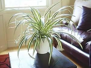 Shaikshavali Ceramic Spider Plant Live Indoor Air Purifying Plant in Pot (4-inch)