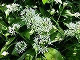 20 Blumenzwiebeln Alliumzwiebeln Allium ursinum ssp ursinum, Bärlauch-Zwiebeln