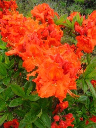 Azalee, Baum (kupferrot blühende Garten Azalee Rhododendron luteum Gibraltar 50 - 60 cm hoch im 5 Liter Pflanzcontainer)