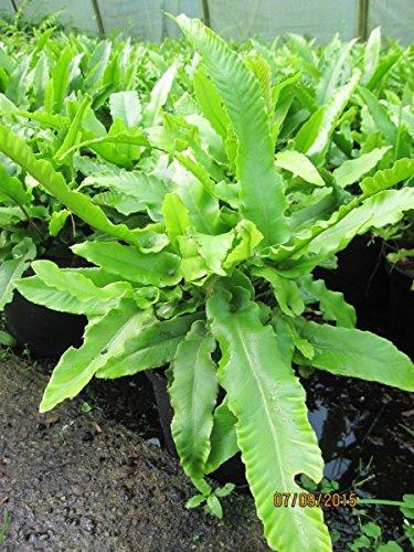 Phyllitis scolopendrium - Hirschzungen Farn