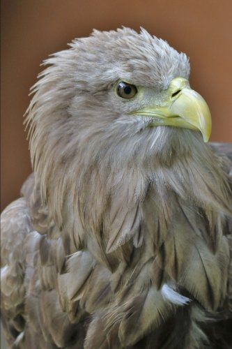 White Tailed Eagle Portrait Journal: 150 page lined notebook/diary (Eagle White-tailed)