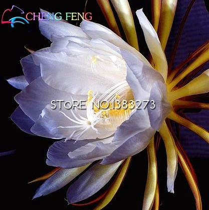 2016 50pcs chinois rares Graines Epiphyllum Oxypetalum Night Blooming Cereus Bonsai Flower Garden Décoration des plantes