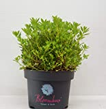 !!WELTNEUHEIT!! Bloombux – flower & form by INKARHO 30-35 im 5 Liter Pflanzcontainer