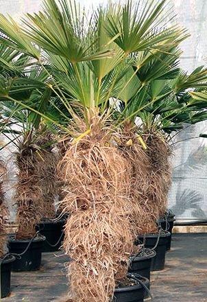 Trachycarpus wagnerianus - Chinesische Hanfpalme - 5 Samen