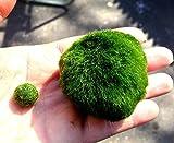 Luffy Balles en Mousse Géantes Marimo (3cm et 5 cm) X 1 + une petite marimo gratuite ! (expédié du Royaume Uni) Plantes d'aquarium pour poissons / crevettes d'eau vive pour le diffuseur Co2 le moins cher dans une décoration pour des crevettes rouges cristal, avec des fougères anubias java ce qui permet de faire facilement pousser les bonzaïs algae aegagropila terrarium japonais chez soi avec peu d'air, des récifs de corail et une eau saumâtre.