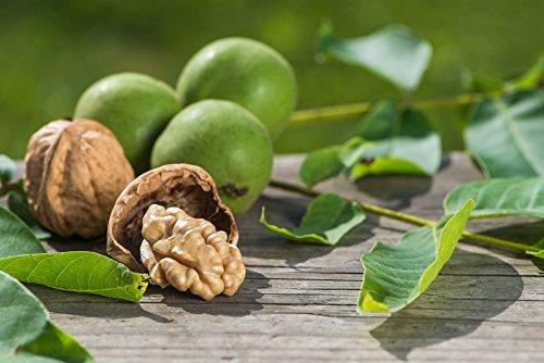 echter-walnussbaum-juglabs-regia-verschiedene-grossen-150-cm-stamm-80cm-topf-12-ltr