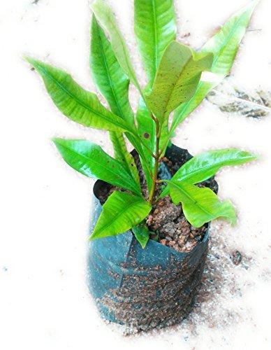 ROOKHRAJ PAUDHSHALA Clove Live Plant - Syzygium Aromaticum, Labongo, Laung Live Plant, Clove