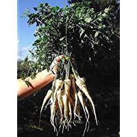 Fash Lady 300 + HAMBURGO ROOTED PARSLEY Seeds NonGmo Heirloom Spring/Fall Hierba/Vegetales de raíz