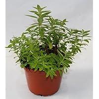 Hierba Luisa (Maceta 13 cm Ø) - Planta viva - Planta aromatica