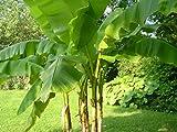 Schnellwachsende Schnee-Banane 2 Pflanzen reich fruchtend bis zu 4 Meter Höhe