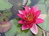 Wasserpflanzen Wolff - Nymphaea 'Froebeli' im Pflanzkorb - Seerose, rot