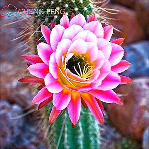 Pinkdose Nouveaux Arriva 30pcs / Paquet bureau Succulentes plantes plantes antiradiation cactus importées bonsaïs hybrides plantes à fleurs: Gris foncé