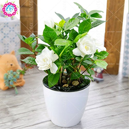 Shopmeeko 2 stücke Gardenia jasminoides zwiebeln bonsai blume Sehr duftende blumen White Cape Jasmin Duftende Blume für HAUPTKANNE PFLANZEN -