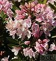 Kleinblütiger Rhododendron Bloombux® 25-30cm - Rhododendron micranthum von Baumschulen - Du und dein Garten