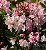 Kleinblütiger Rhododendron Bloombux® 30-40cm - Rhododendron micranthum