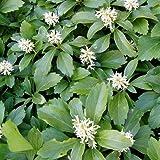 Dickmännchen (syn. Schattengrün) - Pachysandra terminalis von Native Plants