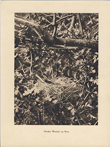 Garden Warbler On Nest - Vintage 1910 Print