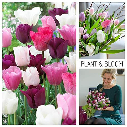 plant & bloom - bulbi da fiore, tulipani trionfo dall'olanda - 30 bulbi, semina autunnale, facile da coltivare, fioritura primaverile - rosa, bianchi e viola - qualità superiore olandese