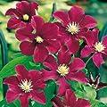 Clematis 'Rouge Kardinal' von Garten Schlüter auf Du und dein Garten