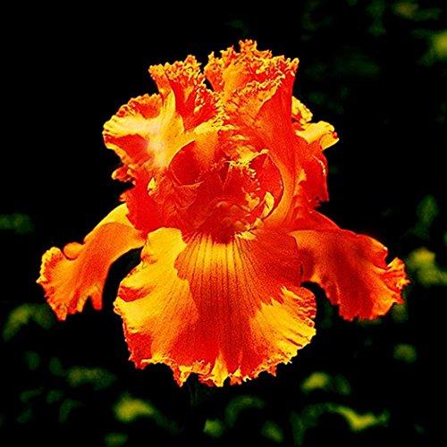 Masoke SemillaCasa - 50 Pcs Semillas de Flores de Lirios Exóticos Hardy Perennial Beetstaude con Aroma Incomparable (# 14)