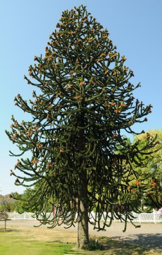 tree-seeds-online-araucaria-araucana-monkey-puzzle-3-non-dormant-seeds-1-packs