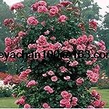 * 100 Blaues Gänseblümchen robuste Pflanzen Blumensamen exotische Zierpflanzen