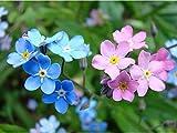Vergissmeinnicht Samen-Myosotis Alpine Blumen Samen Saatgut Berg Alpen Vergissmichnnicht Mix 10 20 50 Stücke Mehrfarbig fünfblättrige Blümchen