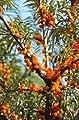 iovivo Sanddorn Busch 2er-Set, männliche + weibliche Pflanze von iovivo - Du und dein Garten