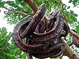 ALBERO DI CARRUBO SARDO - albero da frutto da esterno pianta vera