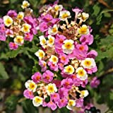 Plant World Seeds - Lantana Camara Seeds