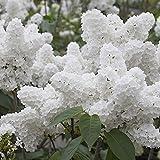 Tomasa Samenhaus- 50 Stück Schnee Hortensien Samen Weiße Japanische Blumensamen Riesen Hortensien Saatgut winterhart mehrjährig
