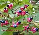 SANHOC Samen-Paket: Clerodendrum totomum RuhmBower 10 Samen