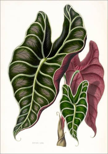 Poster 30 x 40 cm: Alocasia lowii von Miss Sowerby/Bridgeman Images - hochwertiger Kunstdruck, neues Kunstposter
