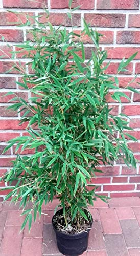fargesia hecke 2 Bambus,Höhe: 110-120 cm, Fargesia murielae Jumbo, winterharte Bambuspflanzen