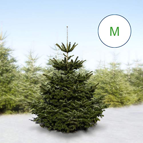 Echte frische Nordmanntanne, echter, frischer Weihnachtsbaum MEDIUM 130-150 cm