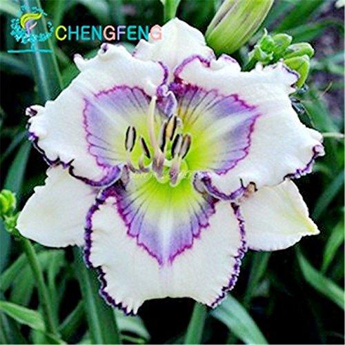 Livraison gratuite prix le plus bas graines Calla Lily, Rhizomes haut taux de survie des fleurs en pot, Calla Lily Flower Roots pcs de semences-100