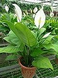 Spathiphyllum graines, pot Balcon, plantation est simple, le taux de bourgeonnement de 95%, l'absorption de rayonnement, couleurs mélangées 100PCS