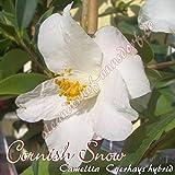 Kamelie 'Cornish Snow' - Camellia Caerhays Hybrid, Grupo de precio:2