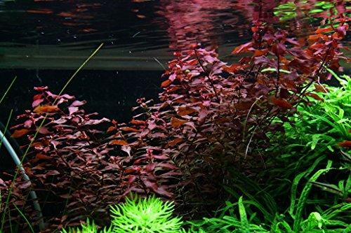 In-Vitro Kleine Tiefrote Ludwigie / Ludwigia palustris (Mini Super Red - Super Rot)