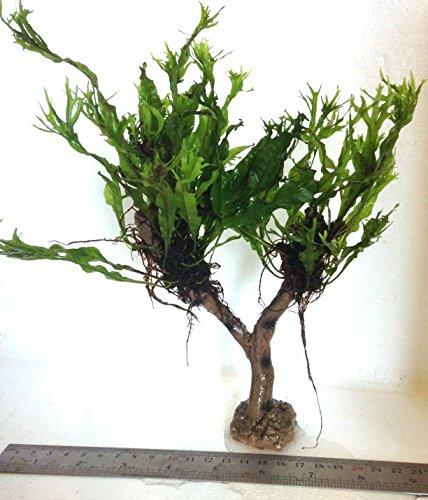 Dennerle Java Fern Microsorum Pteropus (Windelov) Jungle Tree Live Plant 1