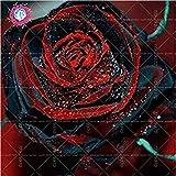 100pcs / bag Schwarz Baccara Hybrid Rose Strauch Blumensamen, frischen exotischen True Blood Rose Blume Pflanze Hausgarten Bonsai Pflanzenset 2